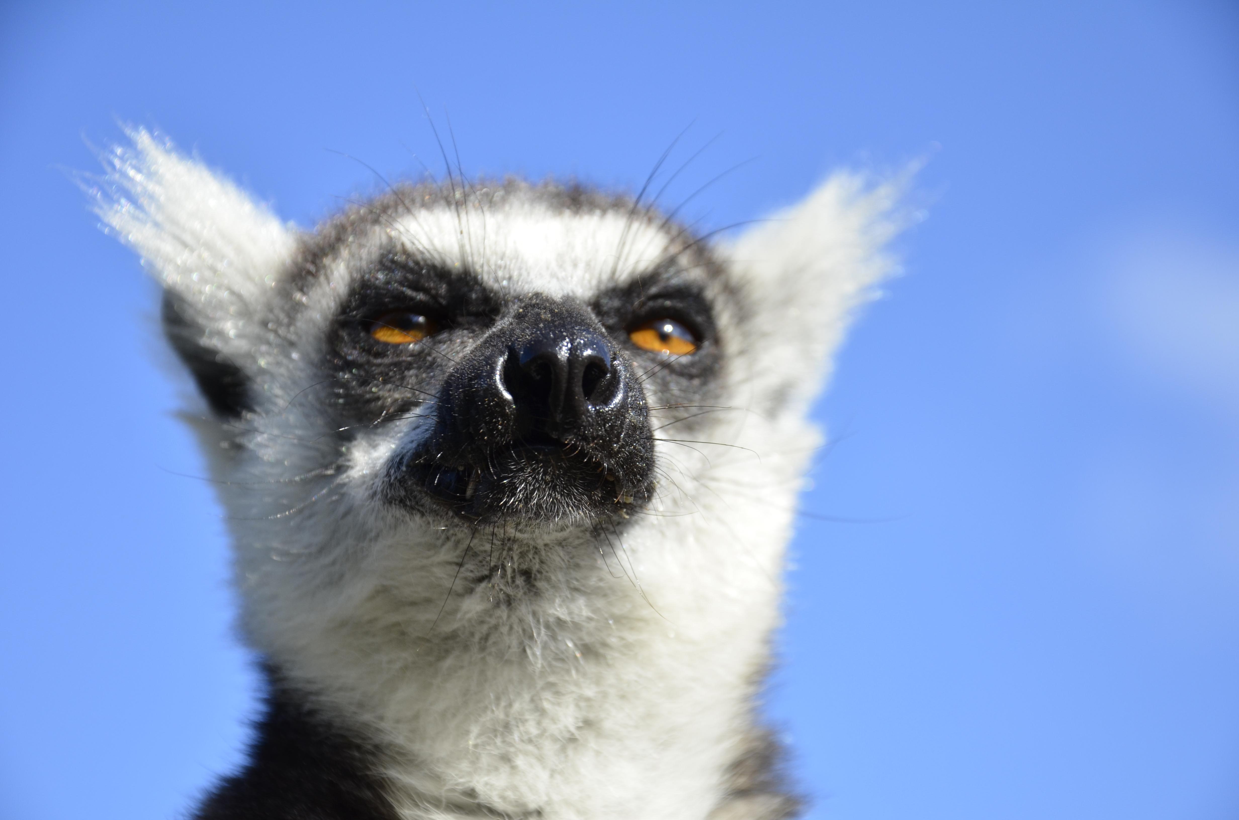 Ringtale lemur